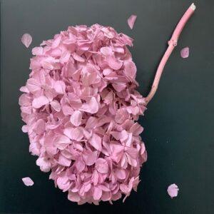 гортензия розовая1
