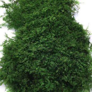 папоротниковый мох55